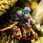 Mantis Shrimp - Marine Life